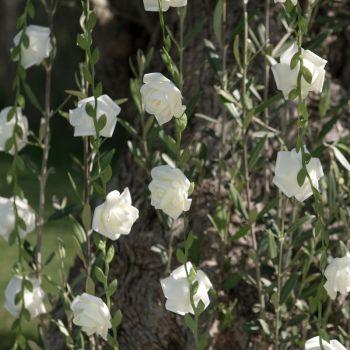 Weiße Rosen-Girlande
